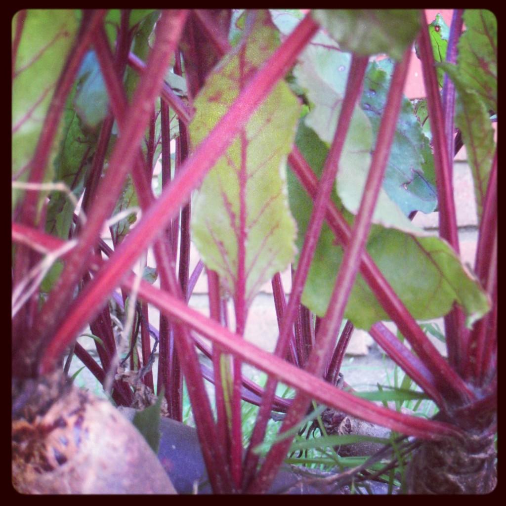 Rødbeder i haven